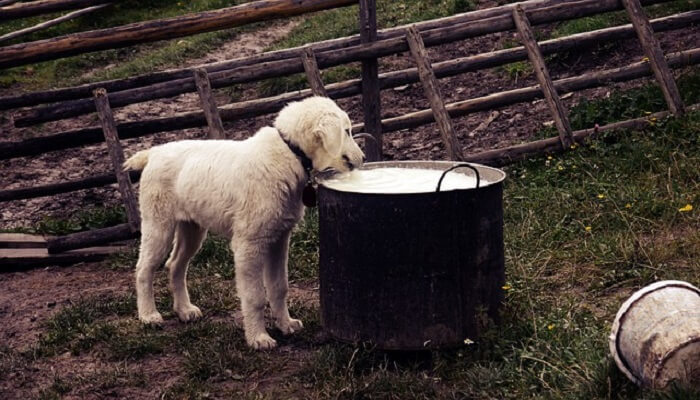 Can Dogs Drink Milk
